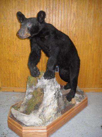 Bear - 151 lb - Vermont