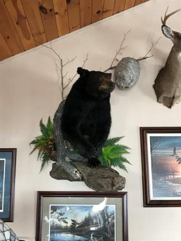 William Giottie  black bear   300 lb  Vermont