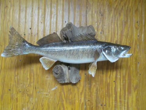 Walleye       7.3 lb    28.5 in     Vermont