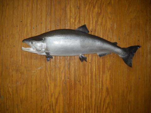 King Salmon - 26lb - Vermont